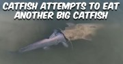 One Big Catfish Trying To Eat Another [Video]