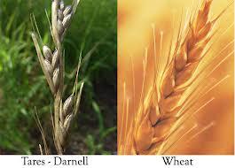 wheatdarnel