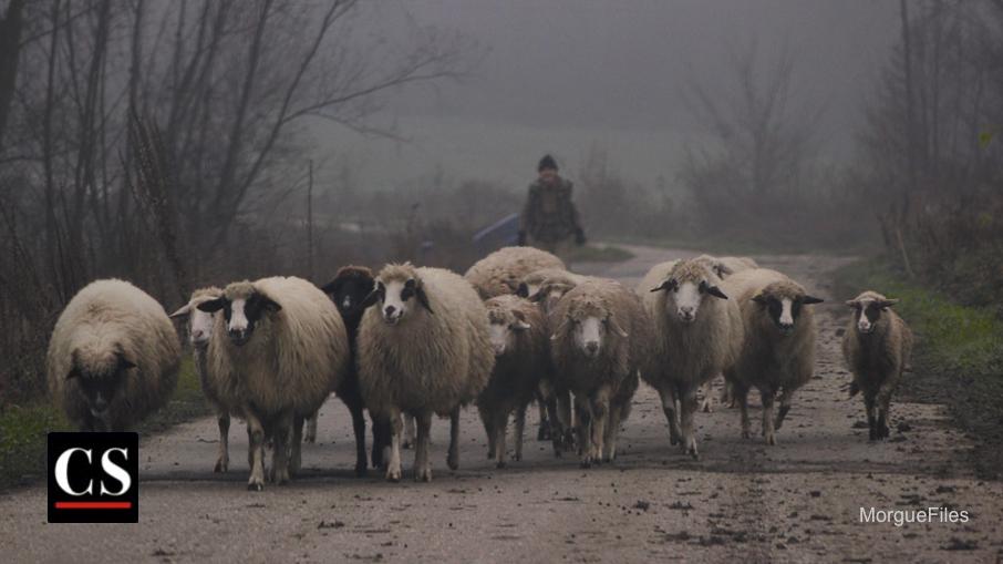 MorgueFIles - Sheep