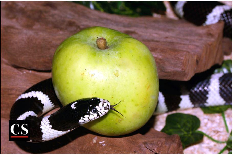 snake, serpent, apple, deception