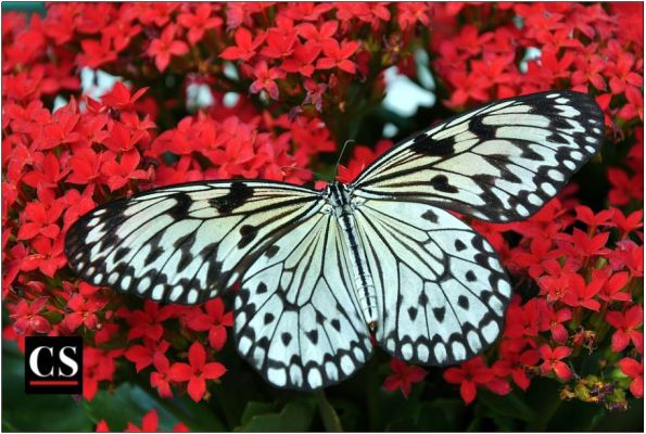 butterfly_white