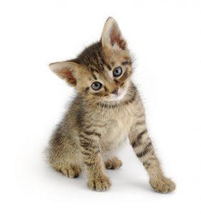 kitten neutered or spayed