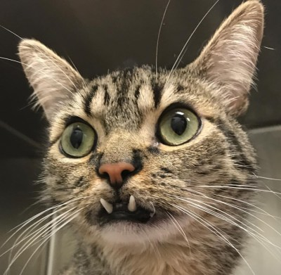 FANGTASTIC FELINES: Underbite Cats of the Internet ...