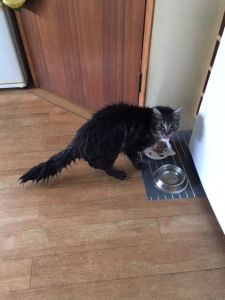 A wet looking long haired cat eating his dinner