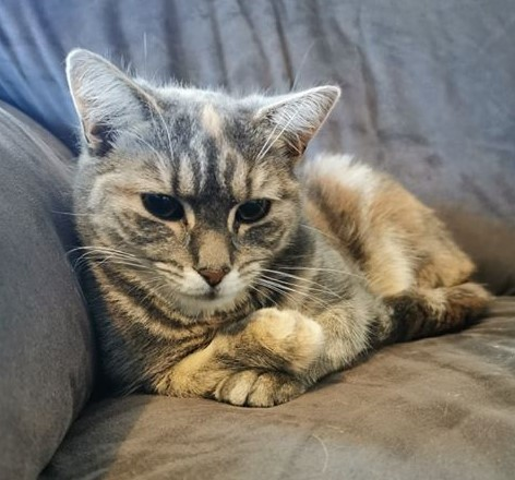 Cat sitting on a couch with her front paws crossed