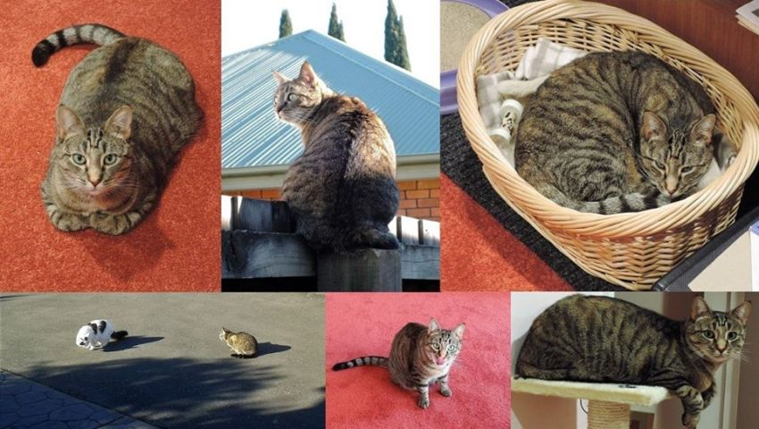 series of images depicting a regal tabby cat looking happy and spoilt