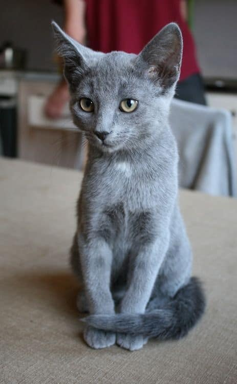 Russian Blue Different Grey Cat Breeds