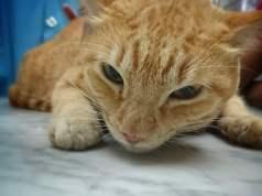 Cat Vaccinations