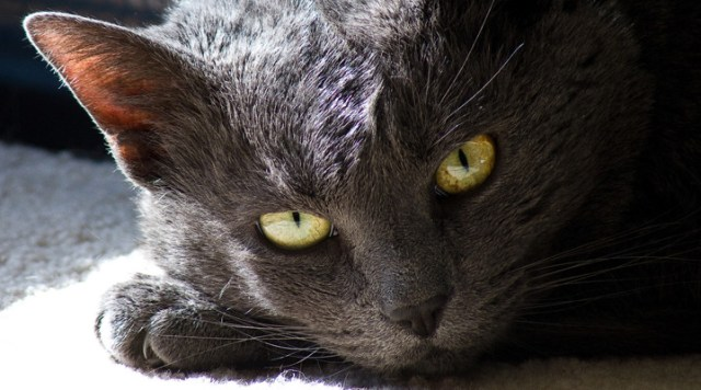 seizures in cats Seizures in Cats: Symptoms and Treatments