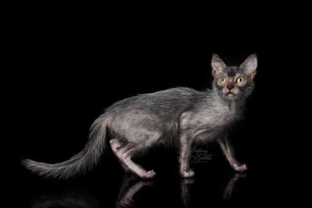 lykoi cats4 Lykoi Cats The Werewolf Cat Everything You Need To Know