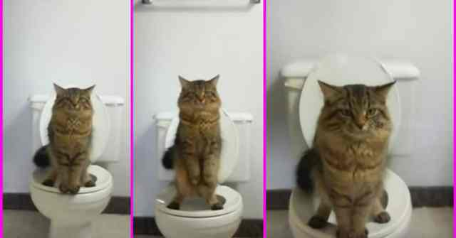cat standing The Cat Standing On Two Legs Using Toilet Like Human