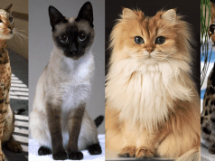 most expensive cat breeds a Cats In Care Homepage   Random