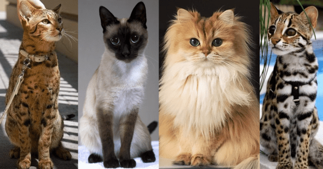most expensive cat breeds a 20 of The World's Most Expensive Cat Breeds, Costing Up To $100,000