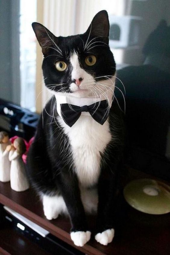 JN Tuxedocat4 Tuxedo Cats (A Rockstar Cat In Suit )