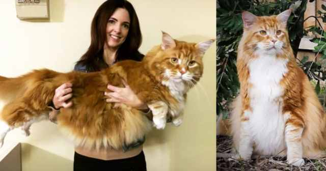 Omar Maincoon Meet the Instagram Sensation Omar, The World Longest Cat