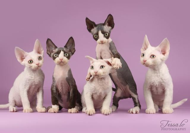 CornishRex1 Cornish Rex Cat Breeds