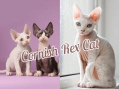 CornishRex11 Cats In Care Homepage   Random