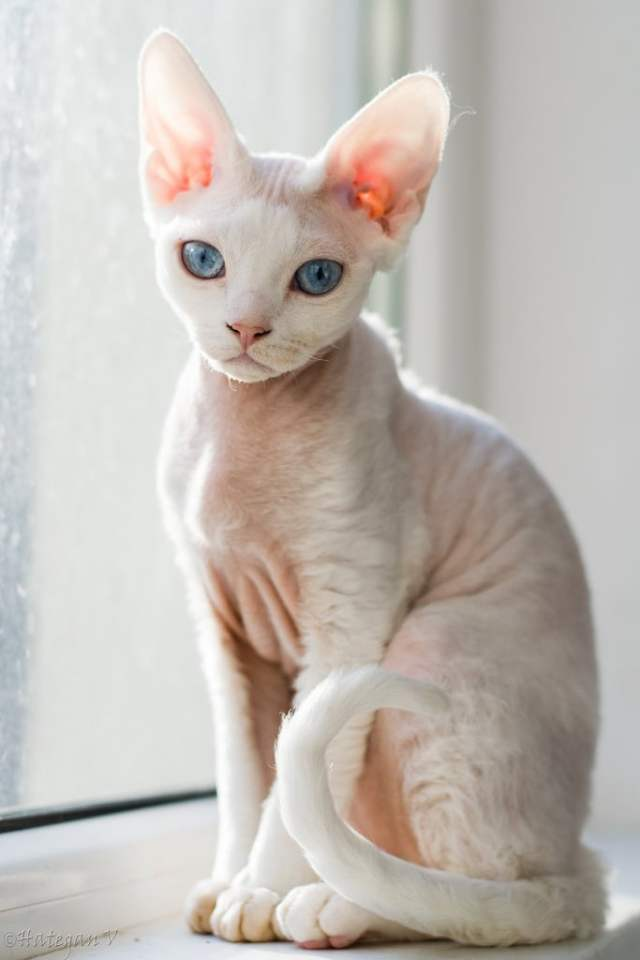 CornishRex3 Cornish Rex Cat Breeds