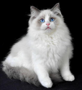 https://i2.wp.com/www.catsofaustralia.com/images/Ragdoll-Cat-Breed-rd.jpg