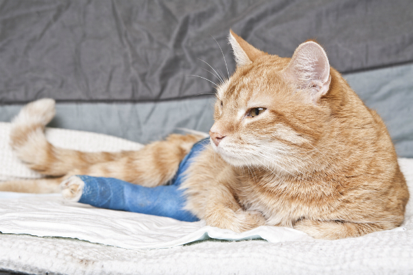 A ginger cat with a broken leg.