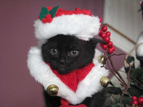 Image result for santa cat