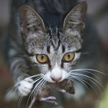 Image result for feral cats eat rat