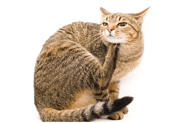 A brown tabby cat itching.