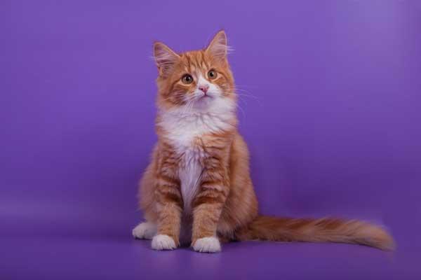 Orange Siberian cat by Shutterstock
