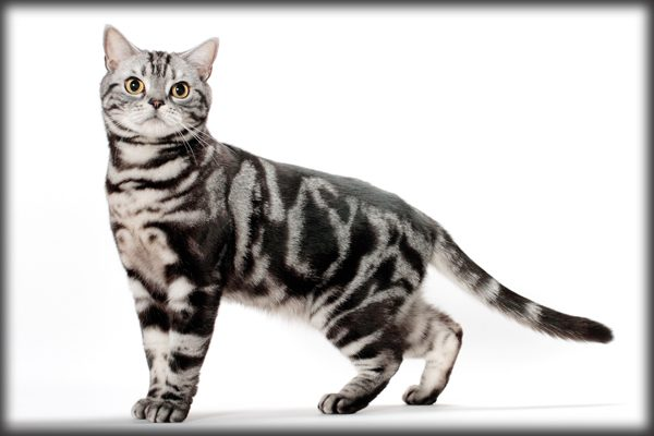 Whos That Cat The American Shorthair Born In The USA