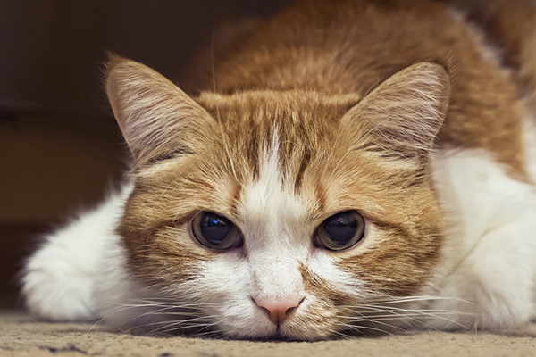 An orange and white cat lying on the floor, looking sick.