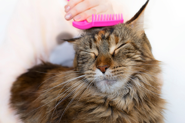 A fluffy brown cat getting groomed with a pink brush. Photography by ollegN/Thinkstock.