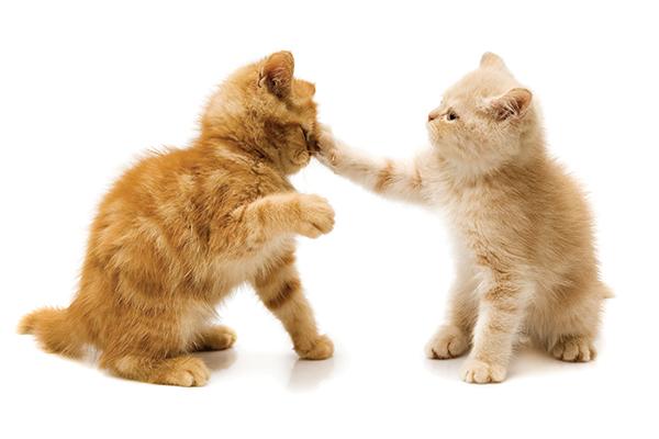 Two ginger kittens fighting.