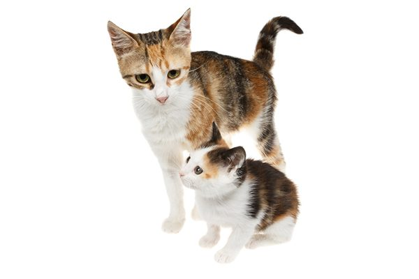Two Calico cats who look alike, possibly a mama cat and kitten.