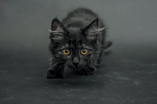 Luna for Black Cat Awareness Month. Photography by Casey Elise Christopher.