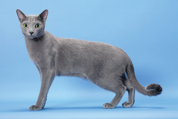 A Russian Blue cat.