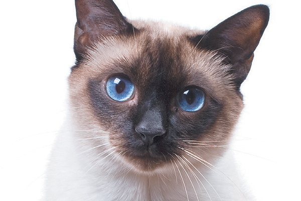 In Siamese cat. Photography © studdio22comua | Thinkstock.