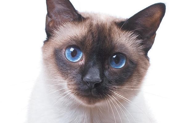 A Siamese cat. Photography ©studdio22comua | Thinkstock.