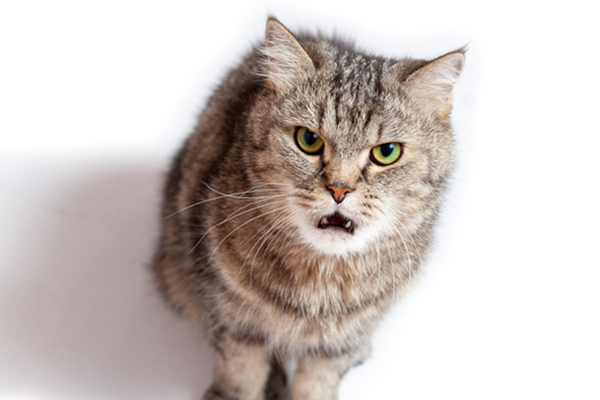 A-brown-cat-growling-or-hissing-and-looking-angry