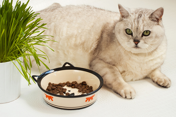 A fat white cat with a bowl of half-eaten cat food.