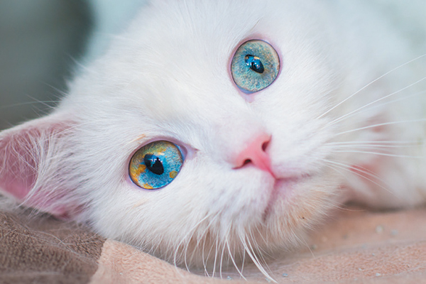 A white cat with blue eyes.