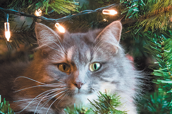 A gray cat hiding in a Christmas tree.