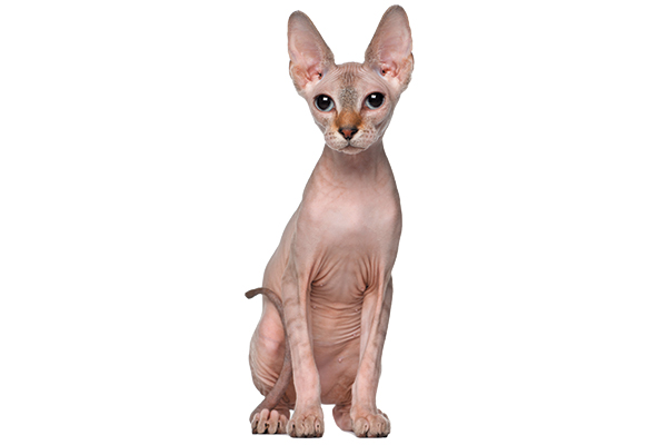 A Sphynx or hairless cat.