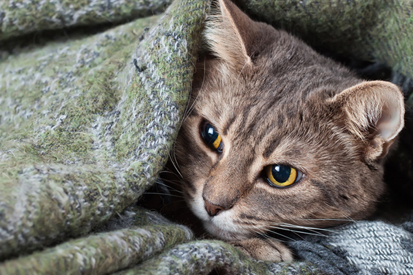 A sick gray cat curled up in a blanket.