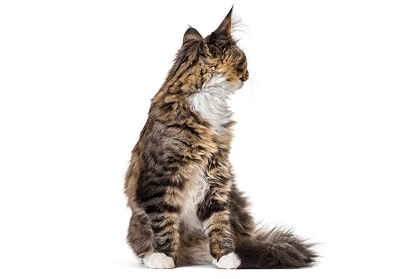 A cat looking backwards at his butt.
