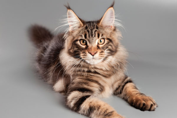 A Maine Coon.