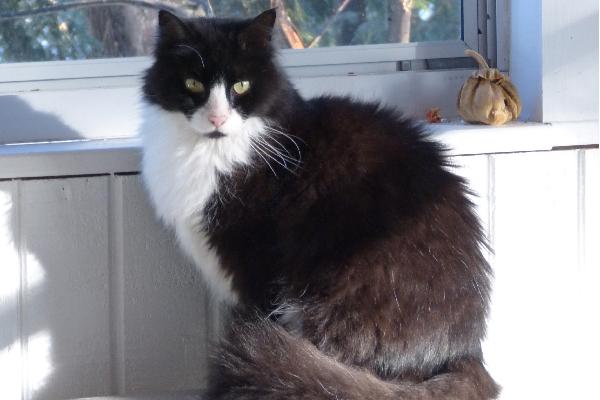 A fluffy black and white tuxedo cat.