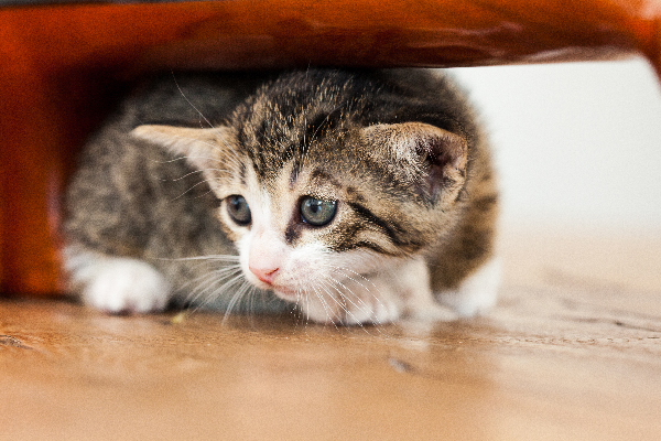 A scared cat or kitten hiding under a chair or table.
