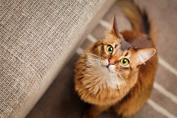 A golden brown cat, staring, looking up.