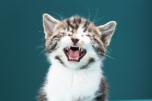 A kitten crying or making sounds with mouth open.