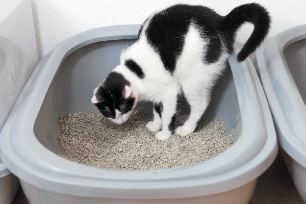 A cat staring down into a litter box.